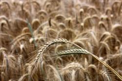 Урожай на Донбассе может остаться в поле