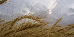 Непогода и государство объединились против украинских аграриев?