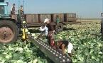фото Транспортёр для уборки овощей ТО-300