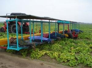 фото Платформа для уборки овощей ПУО-1А