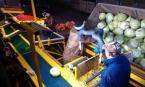 фото Модульная линия предпродажной подготовки капусты МЛППК
